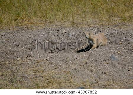 Prairie dog - stock photo