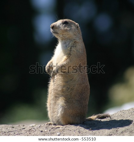 Prairie Dog at Attention