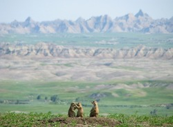 Prairie Dog Family in Badlands