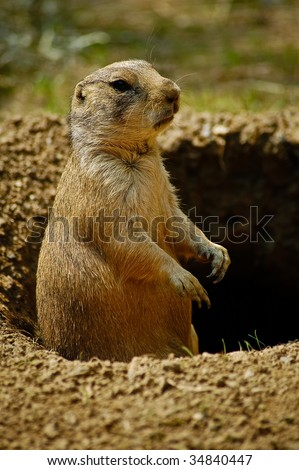 Prairie Dog / Groundhog in Hole Portrait (doesn\'t see it\'s shadow)