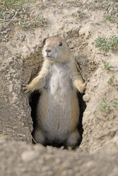 Prairie Dog Guarding his Hole in Theodore Roosevelt National Park in North Dakota