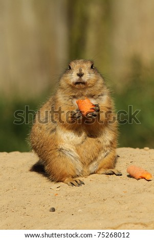 Prairie dog holding a carrot and looking at you