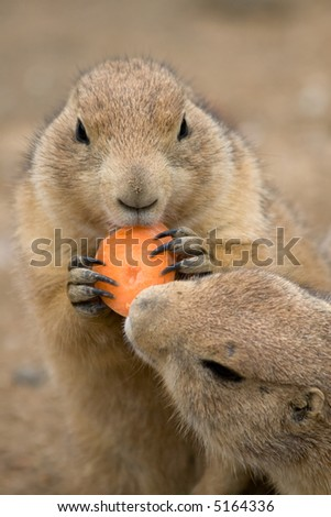 prairie dog living from Mexico to Canada