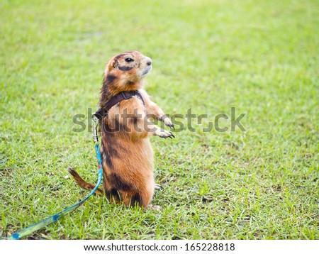 Prairie dog on lawn in garden