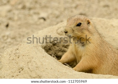 Prairie Dog peeking out of his hole in Virginia.
