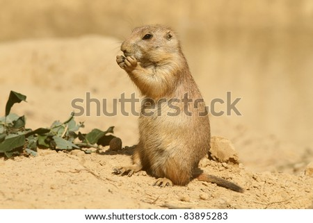 Prairie dog standing upright and eating