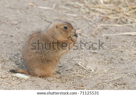 N American Rodents of North America