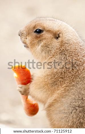 Grassland Rodents