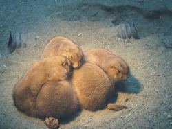 Prairie dogs gathering to warm up on cold days