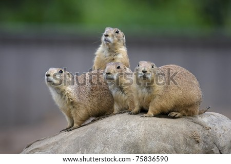 Prairie Dogs in a very alert state.