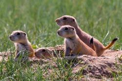 Prairie dogs in Cherry Creek State Park, suburban Denver