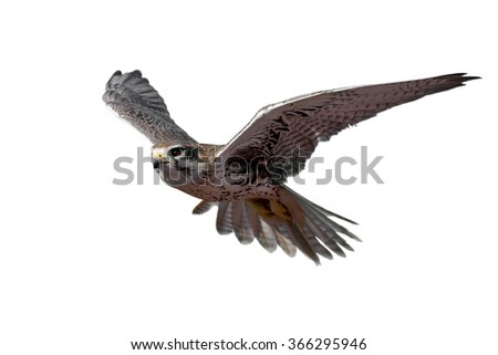 Prairie Falcon in flight (isolated)