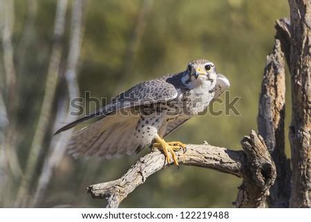 Prairie Falcon in Tucson Arizona