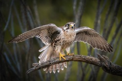 Prairie Falcon prepares for take off from branch with spread wings
