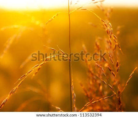 Prairie grass in the light of the setting sun