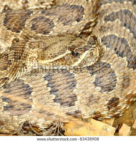 Prairie Rattlesnake (Crotalus viridis) in Badlands National Park of South Dakota