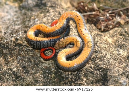 Prairie ringneck snakes often play dead when first captured.