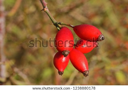 Prairie rose or wild rose hips or rosehips in Italy Latin rosa canina and similar to a sweet briar also called eglantine state flower or state symbol of Iowa and North Dakota with healthy properties #1238880178