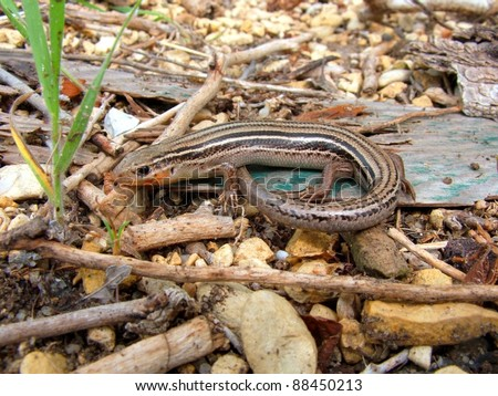 Prairie Skink. Eumeces septentrionalis - a striped lizard of the American central plains