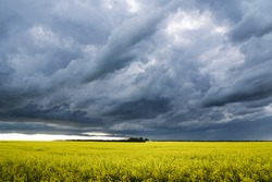 Prairie storm clouds form over a blooming yellow canola field in Western Canada.