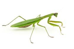 Praying Mantis.