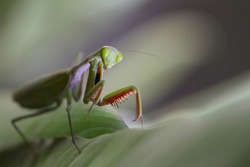Praying mantis close-up macro sitting on a leaf looking at the camera, showing spiked arms, eyes and antenna