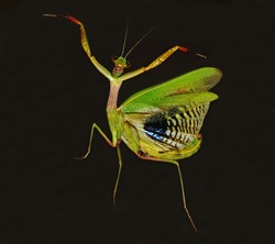praying mantis dancer on the dark background