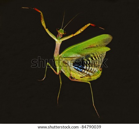 praying mantis dancer on the dark background - stock photo