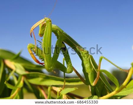 Praying mantis, European mantis (Mantis religiosa) #686455330