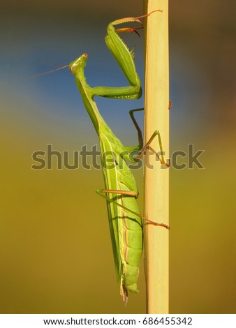 Praying mantis, European mantis (Mantis religiosa) #686455342