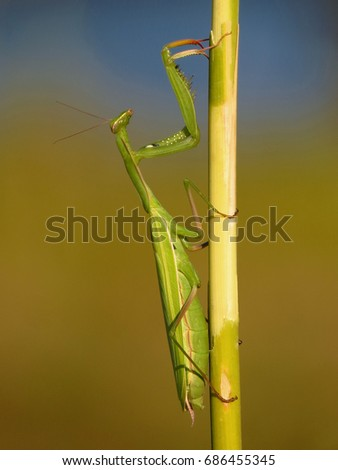 Praying mantis, European mantis (Mantis religiosa) #686455345