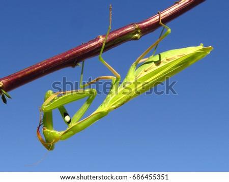 Praying mantis, European mantis (Mantis religiosa) #686455351