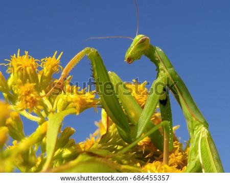 Praying mantis, European mantis (Mantis religiosa) #686455357