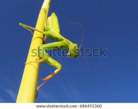 Praying mantis, European mantis (Mantis religiosa) #686455360