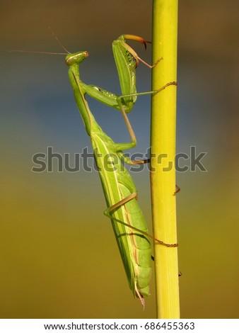 Praying mantis, European mantis (Mantis religiosa) #686455363