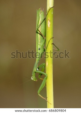 Praying mantis, European mantis (Mantis religiosa) #686809804