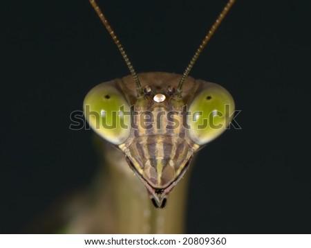 Praying Mantis head shot taken with a Macro lens