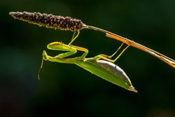 praying mantis in balance on a grass stem