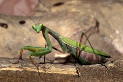 praying mantis insect