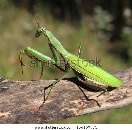 Praying Mantis insect in nature  as a symbol of green natural extermination and pest control with a predator that hunts and eats other insects as an icon of entomology biology education. #156169973