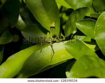 Praying mantis interrupted