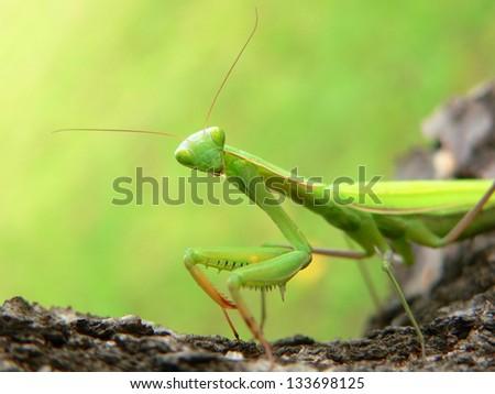 Praying Mantis - Mantis religiosa