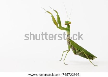 Praying mantis (Mantis religiosa) isolated on white. Foto stock ©