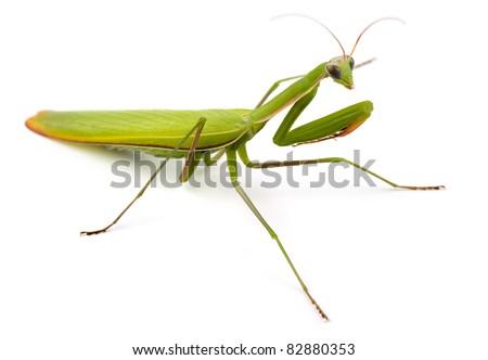 Praying mantis (Mantis religiosa) isolated on white #82880353
