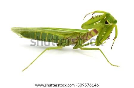 Praying mantis (Mantis religiosa) on white background