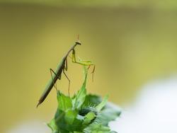 Praying mantis (Mantis religiosa) portrait on green leaf, insect, ambush predator