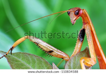 Praying Mantis on a Green Leaf in extreme close-up