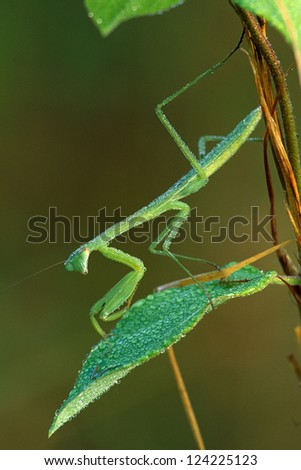 Praying Mantis on Leaf covered with dew - stock photo