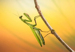 Praying Mantis on the branches of a tree. Cool macro image of mantis on a beautiful colorful background.