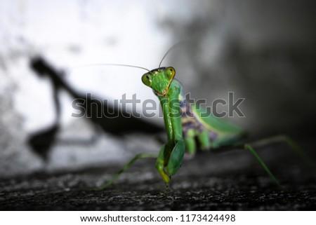 Praying mantis on the floor #1173424498